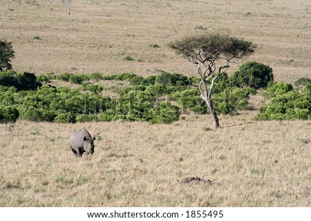 Black rhino on the move after spotting us - stock photo