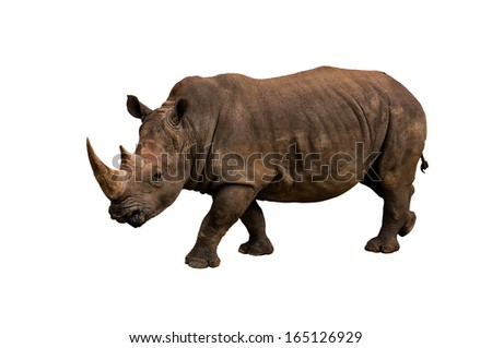 Black Rhino on White Background - stock photo