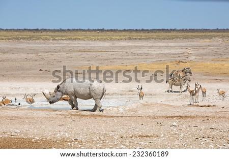 Black Rhino Oryx & Springbok in Etosha National park - stock photo