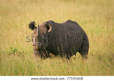 Black Rhino standing in the grass, Masai Mara, Kenya