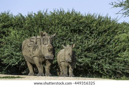 black rhino with young baby in kruger national park south africa - stock photo