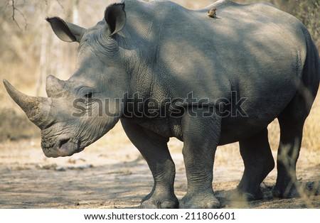 Black Rhinoceros (Ceratotherium Simum) - stock photo