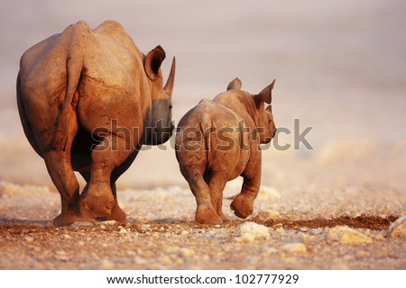 Black Rhinoceros cow and calf walking away in Etosha desert - stock photo