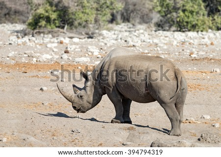 Black rhinoceros (Diceros bicornis) coming out of a waterhole in Etosha National Park, Namibia