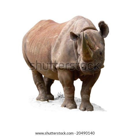 Black Rhinoceros (Diceros bicornis) isolated on white background. Female. - stock photo