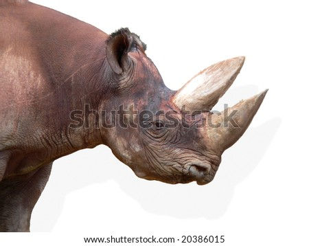 Black Rhinoceros (Diceros bicornis) isolated on white background. Head closeup. - stock photo