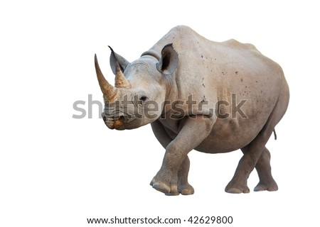Black Rhinoceros isolated on white background; Diceros bicornis - stock photo