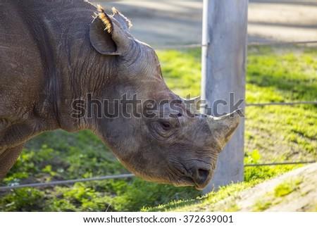 Black Rhinoceros (or hook-lipped rhinoceros) - Diceros bicornis spotted outdoors - stock photo