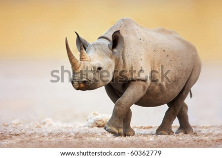 Black Rhinoceros walking on salty plains of Etosha - stock photo
