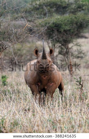 Black rhinoceros with raised head and huge horn with grassy foreground in the middle of typical natural habitat â?? bush landscape  - stock photo