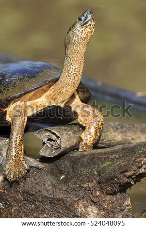 Black river turtle (Rhinoclemmys funerea), Tortuguero national park, Costa Rica