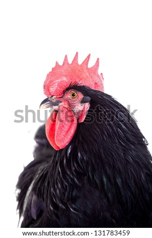 Black rooster isolated on a white background - stock photo