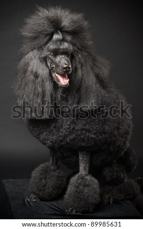 Black Royal poodle on the black background