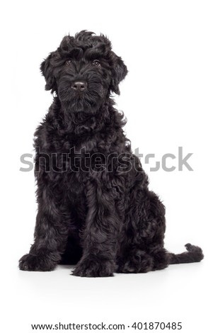 Black Russian Terrier dog breed sits and looks black