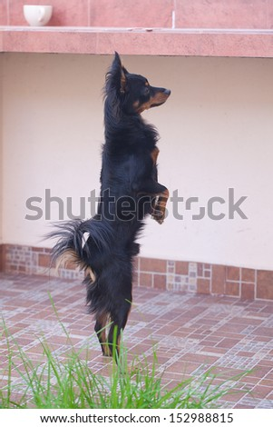 black russian toy terrier standing on hind legs - stock photo
