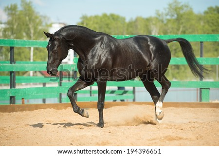 Black Russian trotter horse portrait in motion in paddock - stock photo