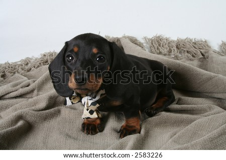 Black sausage dog puppy - stock photo