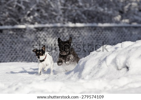 Black Schnauzer and Rat Terrier running really fast inside fenced yard during a white snow. - stock photo