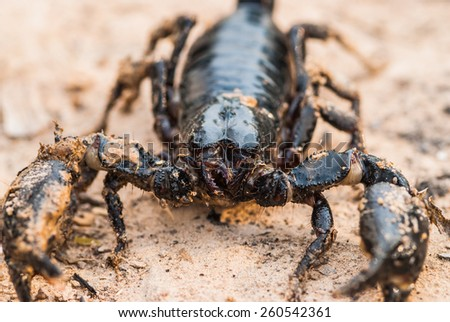 Black scorpion walking closeup - stock photo