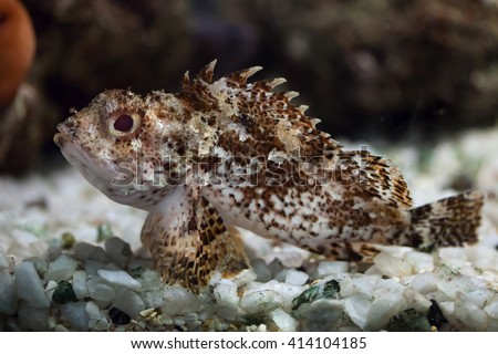 Black scorpionfish (Scorpaena porcus). Wild life animal.  - stock photo