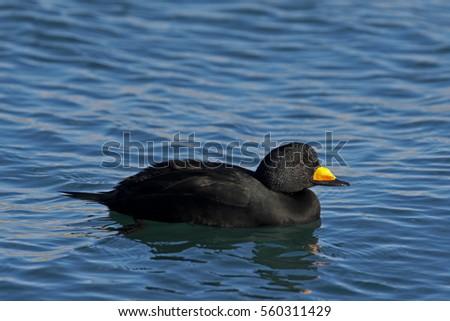 Black Scoter Hen