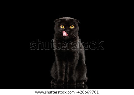Black Scottish Fold Cat with Yellow eyes Sitting and Licked Isolated on Black Background, Front view - stock photo
