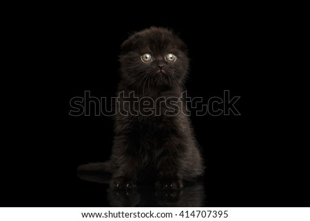 Black Scottish Fold Kitten Sitting and Looking in Profile Isolated on Black Background - stock photo