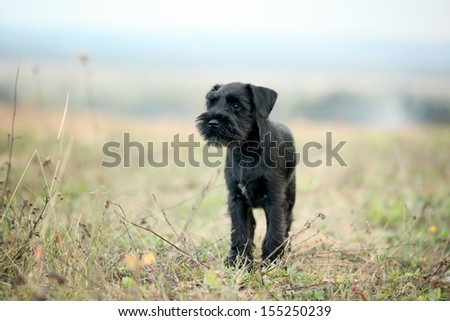 Black Scottish Terrier - stock photo