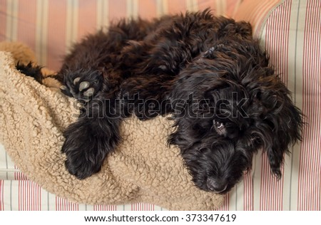 Black scruffy puppy on a fuzzy blanket in a comfy chair - stock photo
