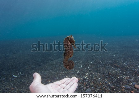 Black Sea horse hovering above hand - stock photo