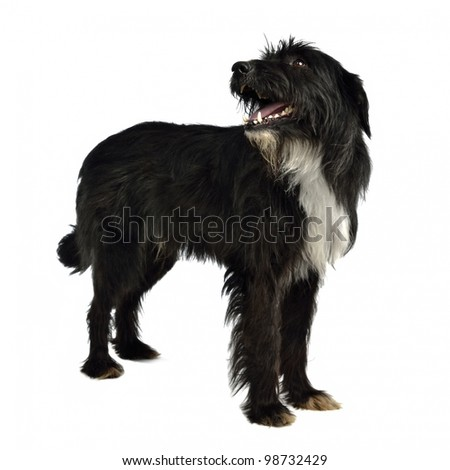 Black shaggy dog standing against white background - stock photo