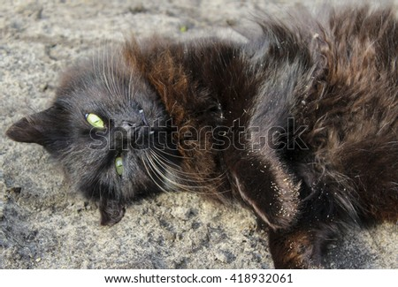 black shaggy long haired cat with green eyes lying on gray sand