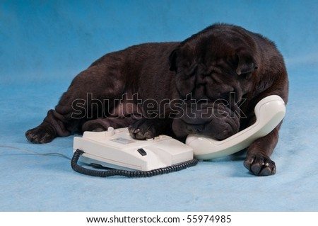 Black Shar-Pei Dog Talking over the Phone - stock photo