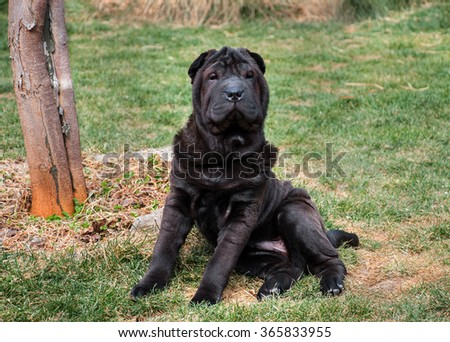 Black sharpei sitting looking at camera on green