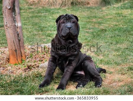 Black sharpei sitting looking at camera on green - stock photo