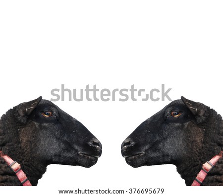 Black sheep in profile, looking at each other. Area for text. - stock photo