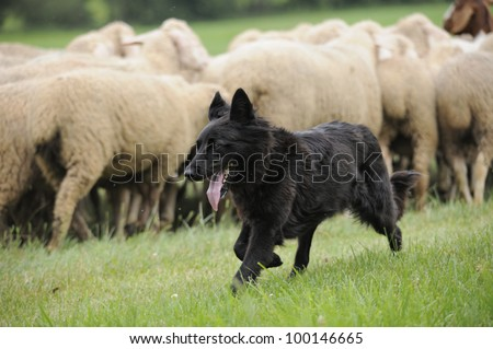 black sheepdog with a lot sheep in work - stock photo