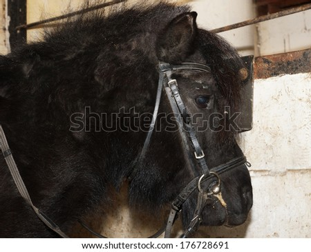 Black Shetland pony in the stable