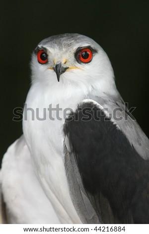 Black shouldered kite bird with striking red eyes - stock photo