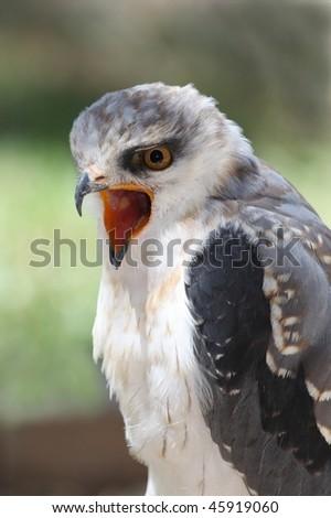 Black shouldered kite raptor bird calling with beak wide open - stock photo
