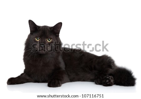 Black Siberian cat lying on a white background. Studio shoot - stock photo