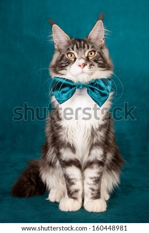 Black silver classic tabby bicolour Maine Coon sitting on turquoise blue green background  - stock photo