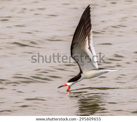 Black skimmer (Rynchops niger) hunting at sunset, Galveston, Texas, USA. - stock photo