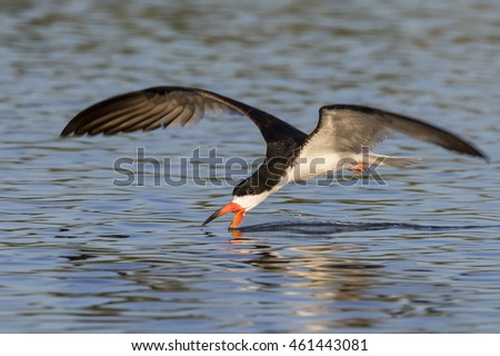 Black skimmer (Rynchops niger) hunting, Galveston, Texas, USA.