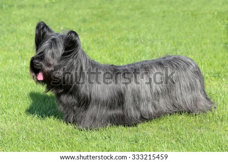 Black Skye Terrier in the garden - stock photo
