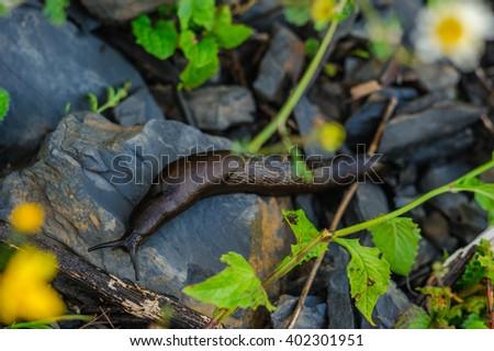 Black slug - Arion vulgaris - in it's natural environment - stock photo