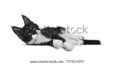 Black smoke Maine Coon kitten lying  looking up isolated on white background
