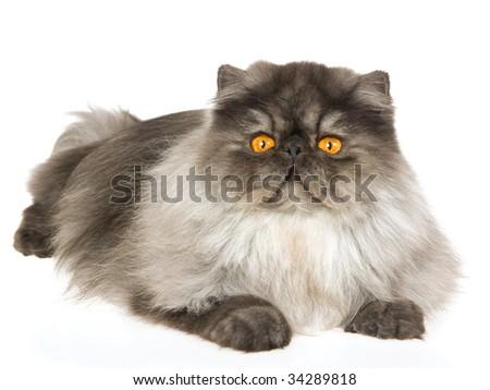 Black smoke Persian cat on white background - stock photo