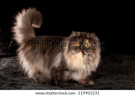 Black smoke tortie Persian cat on black background