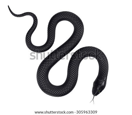 Black Snake isolated on White Background - stock photo